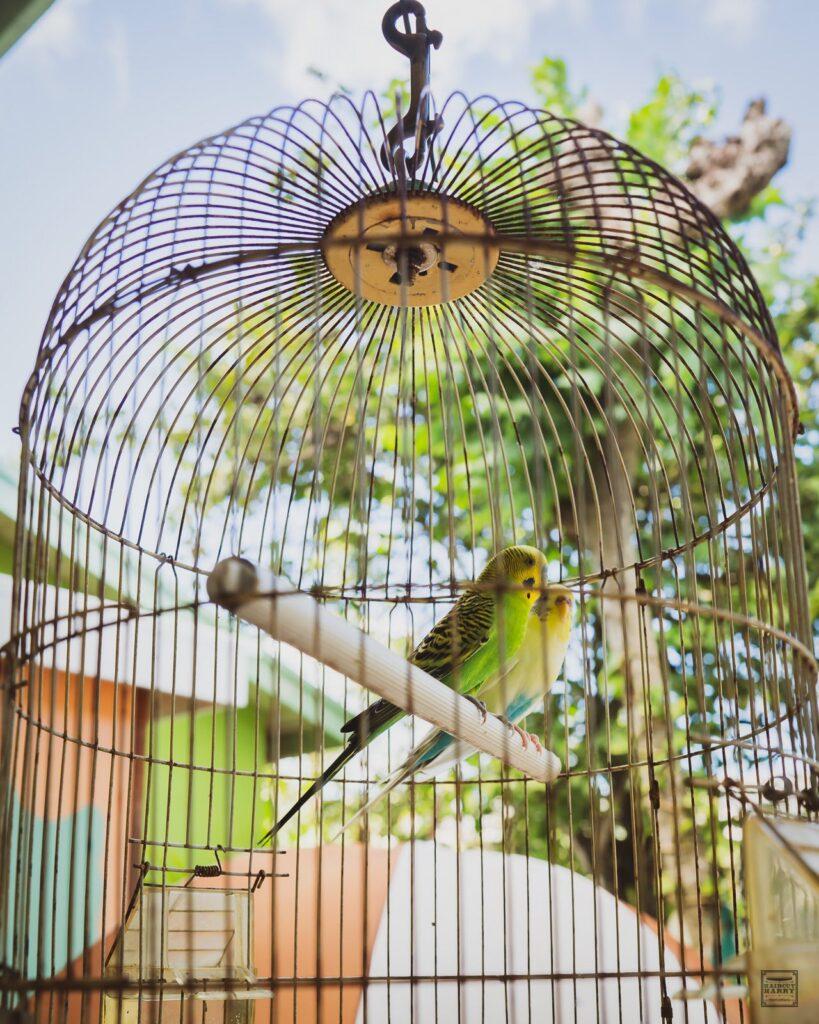 Two parakeets at Wag's Barbershop